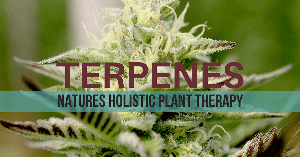 Cannabis & Hemp Terpenes: What they are, what they do and why you should care